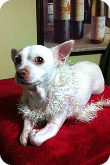 Chihuahua Mix Dog for adoption in Davie, Florida - Lumi