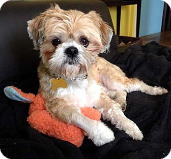 Lhasa Apso/Shih Tzu Mix Dog for adoption in Los Angeles, California - ROMEO