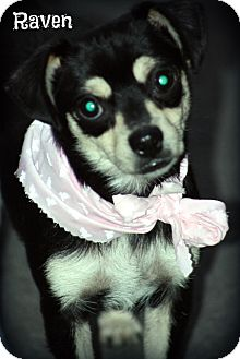 Chihuahua/Terrier (Unknown Type, Small) Mix Dog for adoption in Cranford, New Jersey - Raven