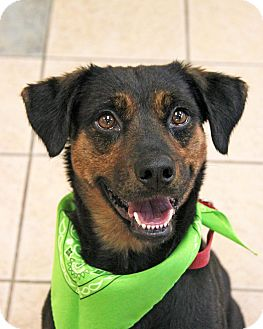 Rottweiler/Australian Cattle Dog Mix Dog for adoption in New Rochelle Humane, New York - Cleo