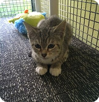Domestic Shorthair Kitten for adoption in Germantown, Tennessee - Bubbles