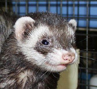Ferret for adoption in Pinesville, Oregon - Jill