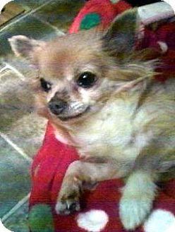 Chihuahua Dog for adoption in Toledo, Ohio - Gizmo