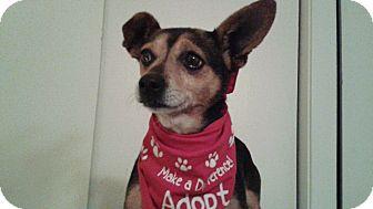 Miniature Pinscher Mix Dog for adoption in Burbank, California - Tippi