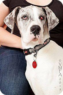Great Dane Dog for adoption in Albuquerque, New Mexico - Gandalf