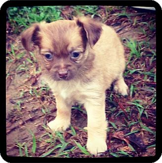 Chihuahua/Shih Tzu Mix Puppy for adoption in Grand Bay, Alabama - Darcy