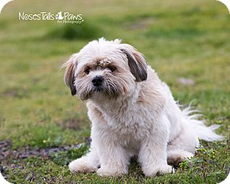 Lhasa Apso Dog for adoption in Salem, Oregon - Gordy
