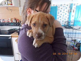 Labrador Retriever/Golden Retriever Mix Puppy for adoption in Earlville, New York - Gizmo