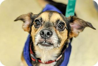 Rat Terrier/Beagle Mix Dog for adoption in Gainesville, Florida - Max