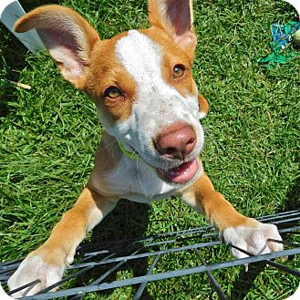 Pit Bull Terrier Mix Puppy for adoption in St. Francisville, Louisiana - Swifty