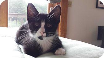 Domestic Shorthair Kitten for adoption in Amherst, Massachusetts - Captain