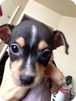 Miniature Pinscher/Terrier (Unknown Type, Small) Mix Puppy for adoption in Sherman Oaks, California - Indio