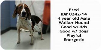 Treeing Walker Coonhound Dog for adoption in Greenville, Kentucky - FRED