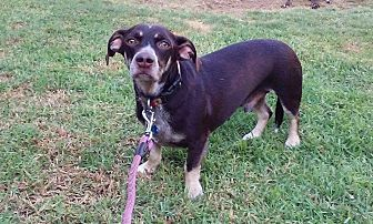 German Shorthaired Pointer/Dachshund Mix Dog for adoption in Va Beach, Virginia - Rico
