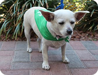 Chihuahua/Terrier (Unknown Type, Small) Mix Dog for adoption in Las Vegas, Nevada - OPAL