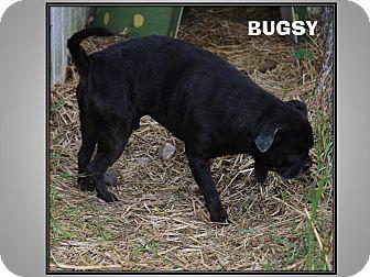 Pug Mix Dog for adoption in LaGrange, Kentucky - BUGSY