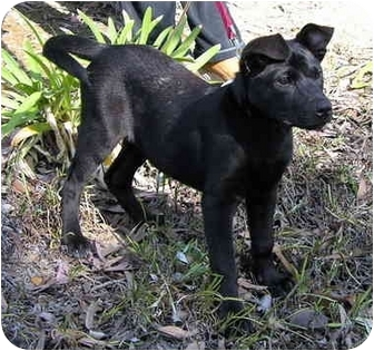 Labrador Retriever/Shepherd (Unknown Type) Mix Puppy for adoption in Corona del Mar, California - Sophie