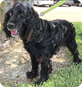 English Springer Spaniel/Spaniel (Unknown Type) Mix Dog for adoption in Cat Spring, Texas - Dexter