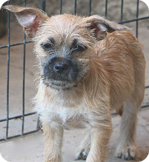 Border Terrier Mix Dog for adoption in Bedminster, New Jersey - Taco Bell