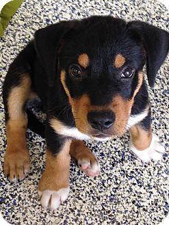 Labrador Retriever/Beagle Mix Puppy for adoption in Washington, Pennsylvania - Sawyer