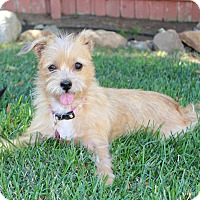 Adopt A Pet :: Latte- great all around dog! - Temecula, CA