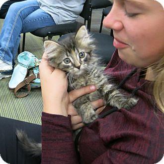 Domestic Longhair Kitten for adoption in Geneseo, Illinois - Faye