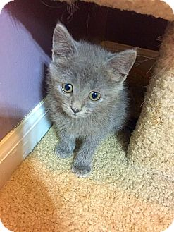 Domestic Mediumhair Kitten for adoption in Charlotte, North Carolina - A..  Roxy