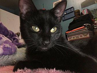 Domestic Shorthair Kitten for adoption in Middletown, Ohio - Wrinkles