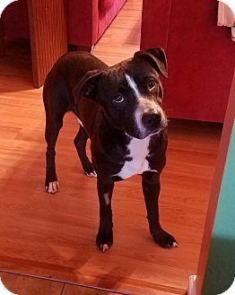 Pointer Mix Puppy for adoption in Raeford, North Carolina - King