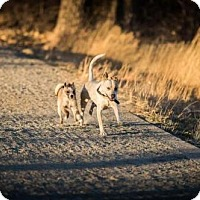 Adopt A Pet :: ABOUT CHARLIE - COURTESY POST (SEE MY BFF BISCUIT) - Boulder, CO