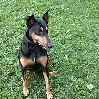 Adopt A Pet :: Traveler - Columbus, OH