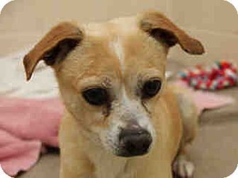 Chihuahua/Terrier (Unknown Type, Small) Mix Dog for adoption in Litchfield Park, Arizona - Theo - Only $45 adoption!!!!!!