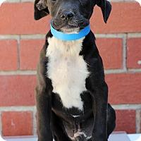 Adopt A Pet :: Taz - Waldorf, MD