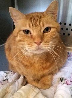 Domestic Shorthair Cat for adoption in Washburn, Missouri - Tibbs