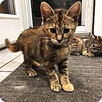 Adopt A Pet :: Puma - N. Billerica, MA