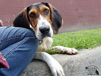 Treeing Walker Coonhound Dog for adoption in Marlinton, West Virginia - Gilly