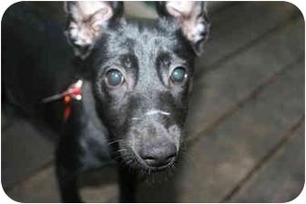 Basenji/Labrador Retriever Mix Puppy for adoption in Concord, California - Renee