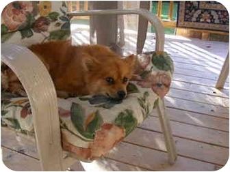 Pomeranian Dog for adoption in Center Moriches, New York - LUCKY