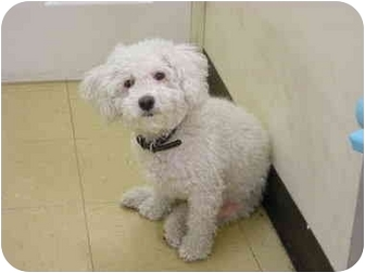 Miniature Poodle/Bichon Frise Mix Dog for adoption in Brooklyn, New York - Daisy