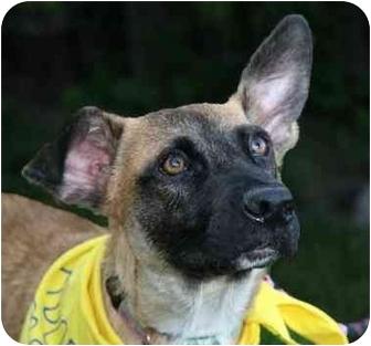 Shepherd (Unknown Type) Mix Puppy for adoption in Wayne, New Jersey - Scruffy