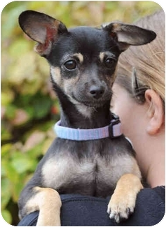 Chihuahua/Miniature Pinscher Mix Puppy for adoption in El Segundo, California - Tinkerbelle