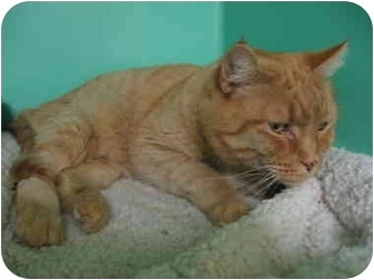 Domestic Shorthair Cat for adoption in Phoenix, Oregon - Tomas