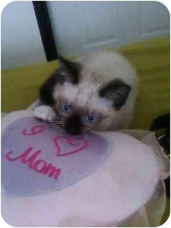 Siamese Kitten for adoption in Hollywood, Florida - CHEYENNA