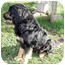 Photo 2 - Bernese Mountain Dog/Tibetan Mastiff Mix Dog for adoption in Sacramento, California - Henry handsome