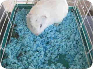 Guinea Pig for adoption in Fullerton, California - Bruce