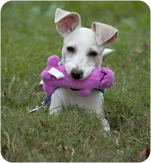 Jack Russell Terrier Mix Puppy for adoption in Portsmouth, Rhode Island - Kappa- local!