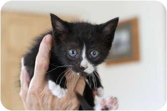 Domestic Shorthair Kitten for adoption in Jacksonville, Florida - Jasmine