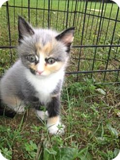 American Shorthair Kitten for adoption in Portland, Maine - Gloria