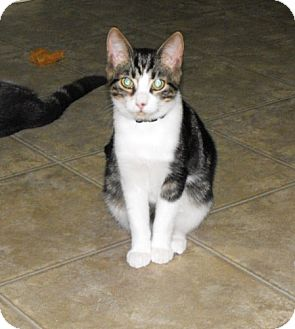 Domestic Shorthair Cat for adoption in Grand Rapids, Michigan - Holden