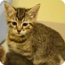 Domestic Shorthair Kitten for adoption in West Des Moines, Iowa - Michael
